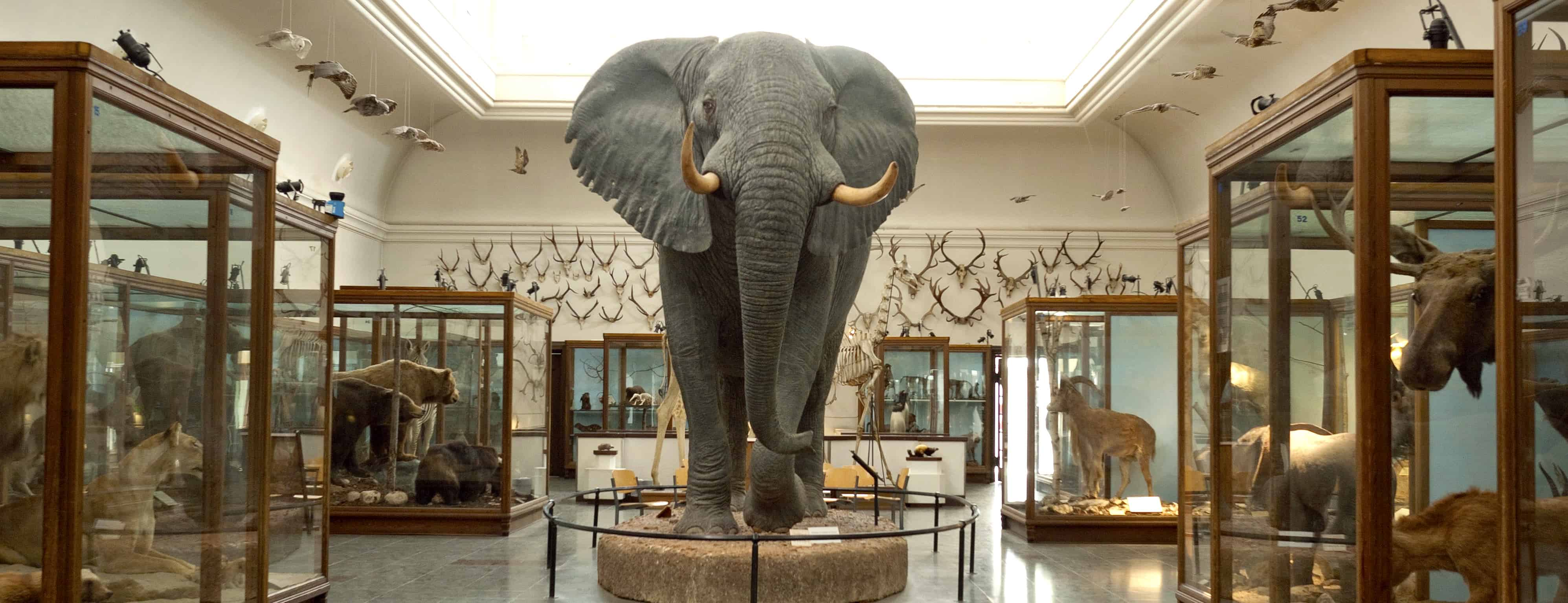 Taxidermy elephant in Natural History Museum